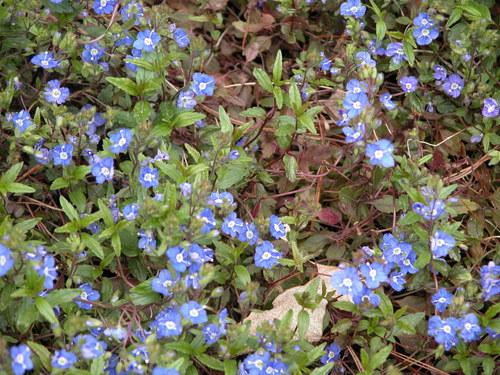 Veronica 'Georgia Blue' - west