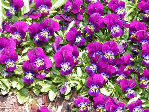 Viola cornuta - east