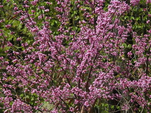 Cercis canadensis - north